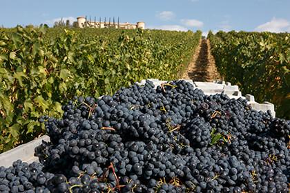 Le uve del vino Bolgheri rosso