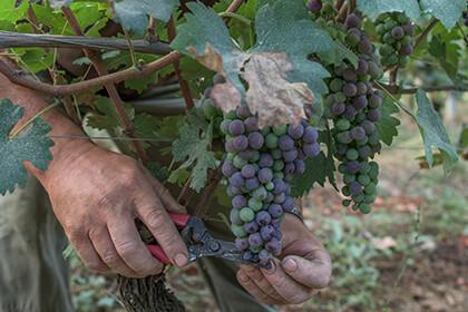 l'uva sangiovese
