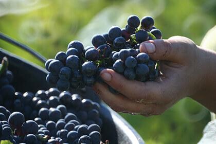 Le uve del Pinot Nero