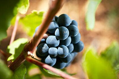L'uva di Pinot Nero